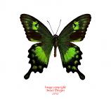 Papilio neumoegeni (Sumba) A-