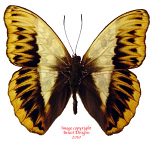Cymothoe herminia (RCA) A2