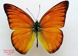Appias nero domitia (Philippines)