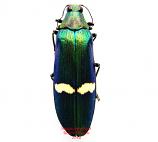 Megaloxantha descarpentriesi (Malaysia)