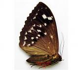 Eupatula macrops (Thailand) A2