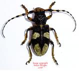 Arctolamia cruciatus (Thailand)
