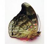 Euthalia evelina chloe (Philippines)