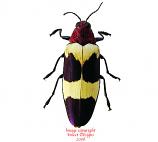Chrysochroa buqueti rugicollis (Thailand)
