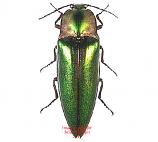 Camptostermus auratus (Thailand)