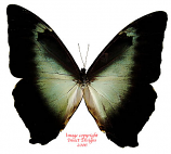Morpho cisseis phanodemus gahua (Peru)