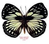 Euxanthe crossleyi (RCA) A2
