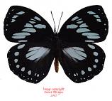 Euxanthe wakefieldi (Tanzania) A1 and A-