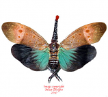 Pyrops pyrorhyncha (Malaysia) A-