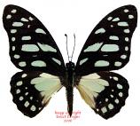 Graphium sp. (Tanzania) A-