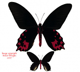 Atrophaneura semperi albofasciata (Philippines)