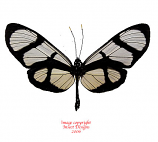 Thyridia psidii (Peru)
