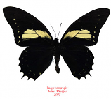 Papilio (Pterourus) aristeus (Peru)