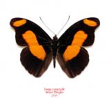 Catonephele chromis (Peru)