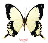 Papilio dardanus (Tanzania)