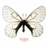 Parnassius stubbendorfii (Korea) A1 and A2
