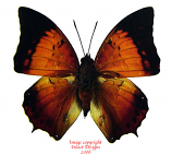 Charaxes aristogiton aristogiton (Thailand) A2