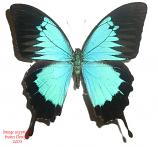 Papilio ulysses autolycus (Papua) A2