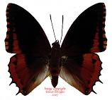 Charaxes eudoxus (RCA)