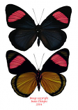 Batesia hypochlora f. chrysochlora (Peru) A-