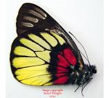 Delias ninus ninus (Malaysia)