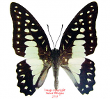 Arisbe eurypylus gordion (Philippines) A-