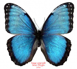 Morpho helenor guanacastensis (Costa Rica) A2