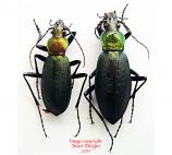 Coptolabrus jankowskii elegans (Korea)