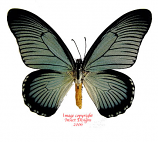 Papilio zalmoxis (RCA)