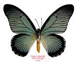 Papilio zalmoxis (RCA) A2