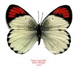 Colotis evippe (RCA) A2