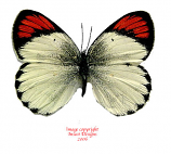 Colotis evippe (RCA)