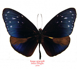 Euploea mulciber subvisaya (Philippines) A-