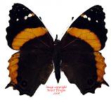 Anartia dimorphica (Tanzania) A-