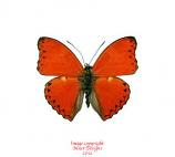 Cymothoe crocea (RCA) A-