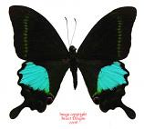 Papilio paris (Java) A2