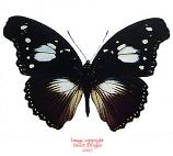 Hypolimnas dinarcha (RCA)