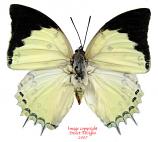 Polyura delphis concha (Malaysia) A-