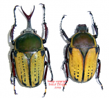 Megalorrhina harrisi peregrina (Tanzania) - males only