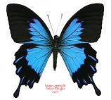 Papilio ulysses telegonus (Bachan) A2