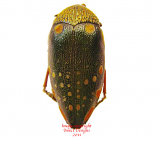 Sternocera castanea (Tanzania) A2