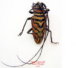 Sternotomis bohemani (Tanzania)