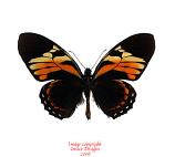 Papilio bachus (Peru) A2