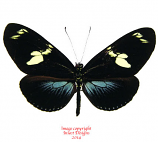 Heliconius doris blue (Colombia) A-