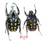 Amaorodes passerinii (Tanzania) A2