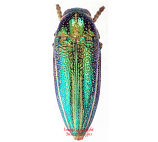 Amblysterna natalensis (Tanzania)