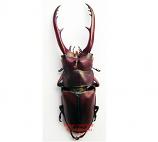 Prosopocoilus sp. (Thailand)