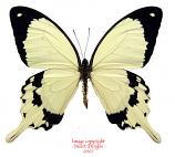 Papilio dardanus (RCA)