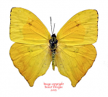 Phoebis rurina (Peru) A-
