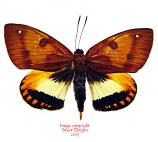 Castnia palatinus (Peru) A2